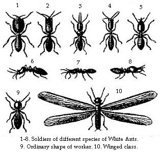 1-8. Soldiers of different species of White Ants.—9. Ordinary shape of worker.—10. Winged class.